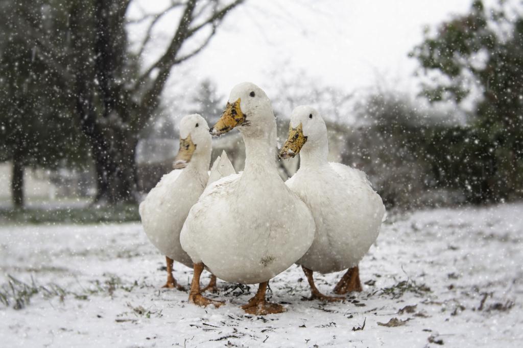 ducks' first snow